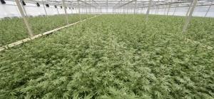 een grote hennepplantage met 65.000 planten. Er werden drie arrestaties verricht. ANP PHOTO ROBERT VAN DEN BERGE