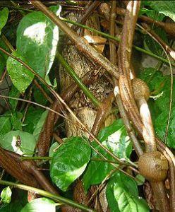 Banisteriospsis caapi bevat monoamineoxidaseremmers